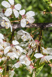 Closeup blossoming plum tree buds. Spring time blossoming buds flowers Royalty Free Stock Image