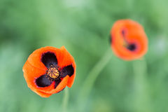 Closeup of a blossoming red poppy on green background Stock Images