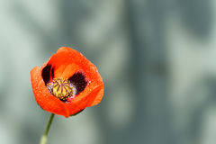 Closeup of a blossoming red poppy with raindrops after rain on gray Stock Photos