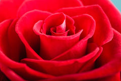 Closeup of blossoming red rose flower as background Stock Photo