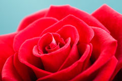 Closeup of blossoming red rose flower on blue Stock Photos