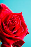 Closeup of blossoming red rose flower on blue Stock Photo