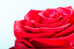Closeup of blossoming red rose flower on blue Stock Photography