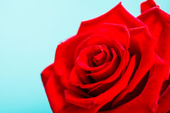 Closeup of blossoming red rose flower on blue Stock Image