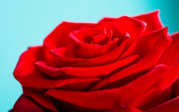 Closeup of blossoming red rose flower on blue Royalty Free Stock Images