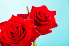 Closeup of blossoming red rose flower on blue Royalty Free Stock Photo