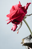 Closeup of blossoming red rose flower on gray Stock Photography