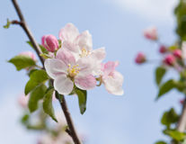 Closeup blossoming tree brunch Stock Photo