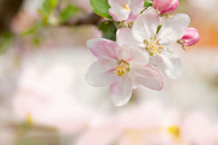 Closeup blossoming tree brunch Royalty Free Stock Images
