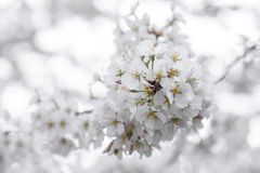 Cluster of Cherry Blossoms. Closeup of blossoms of a cherry tree in the spring Stock Images
