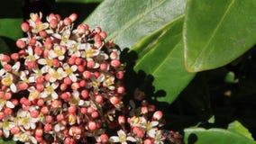 Closeup blossoms leaves and flowers of Laurustinus, Viburnum tinus stock video footage