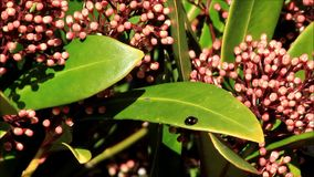 Closeup blossoms leaves and flowers of Laurustinus, Viburnum tinus stock footage