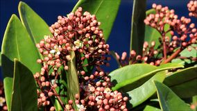Closeup blossoms leaves and flowers of Laurustinus, Viburnum tinus stock video footage
