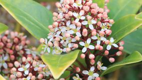 Closeup blossoms leaves and flowers of Laurustinus, Viburnum tinus stock video