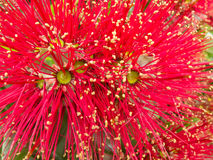 Closeup blossoms of NZ Christmas Tree Pohutukawa Royalty Free Stock Photos