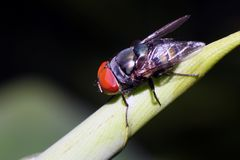 Closeup of blow-fly or carrion fly Calliphoridae. Blow-flies, carrion flies, bluebottles, greenbottles, Closeup of blow-fly or carrion fly Calliphoridae Stock Photography