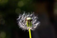 Closeup of blown dandelion Stock Image