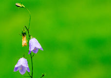 Closeup of a Blue Bell Flower Royalty Free Stock Images
