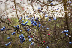 Closeup of blue blackthorn Royalty Free Stock Images