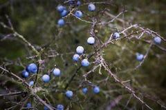 Closeup of blue blackthorn Royalty Free Stock Photos