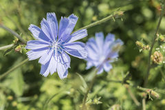 Closeup of a blue chicory flower on green grass outdoor Stock Photography