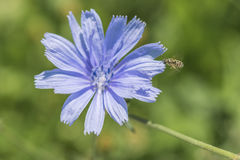 Closeup of a blue chicory flower on green grass outdoor Royalty Free Stock Images