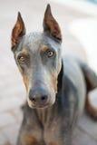 Closeup Blue Doberman Dog Outdoors Royalty Free Stock Photo