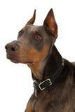 Closeup of Blue Doberman Stock Image