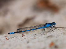 Closeup of blue dragonfly Royalty Free Stock Photography