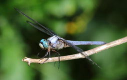 Closeup of blue dragonfly. Stock Images