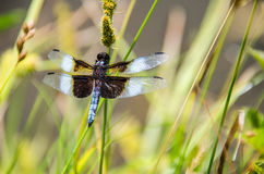 Closeup of blue dragonfly in lotus pond with timothy grass Royalty Free Stock Images