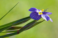 Closeup of Blue-Eyed Grass Stock Photos