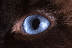Closeup blue eyes of brown snowshoe cat royalty free stock images