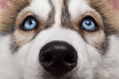 Closeup Blue Eyes Siberian Husky Puppy Royalty Free Stock Images