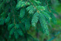 Closeup of blue fir tree or pine branches Stock Image