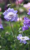 Closeup of blue flower. S growing in a cottage garden Royalty Free Stock Photos