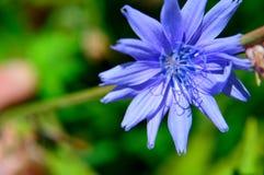 Closeup Blue flower Common chicory Cichorium intybus stock images