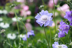 Closeup of blue flowers. Growing in a cottage garden Stock Image