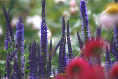 Closeup of blue flowers. Growing in a cottage garden with red and yellow flowers in the foreground Stock Photo