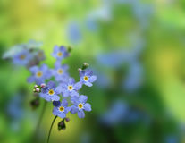 Closeup of blue flowers forget-me-not. Royalty Free Stock Photo