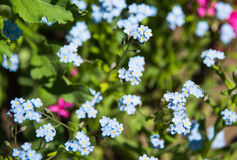 Closeup of blue forget-me-not flowers Stock Image