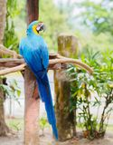 Closeup blue and gold macaw bird sitting on a tree branch. Stock Image