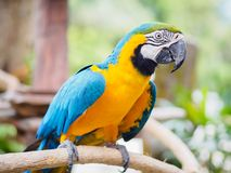 Closeup blue and gold macaw bird sitting on a tree branch. Royalty Free Stock Photos