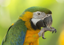 Closeup of a Blue and Gold Macaw Royalty Free Stock Photos