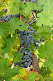 Closeup of blue grapes in a wine yard in Canada. Royalty Free Stock Photography