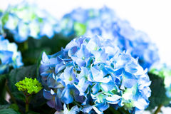 Hydrangea. A closeup from a blue, green hydrangea. isolated Stock Photography