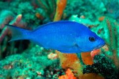 Closeup Blue Hamlet Stock Images