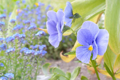 Closeup on blue heartsease with blue forget-me-nots out of focus. Spring flower background, shallow DOF, partial focus on the front flower. Space for your text Stock Photo