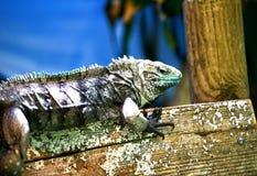 A closeup of a blue iguana. royalty free stock photo