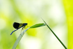Closeup of Blue Insect - Banded Demoiselle Royalty Free Stock Photography